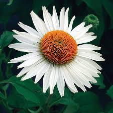 echinacea flower echinacea purpurea fragrant angel white flower farm