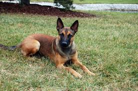 belgian shepherd malinois military belgian malinois dogs pets cute and docile