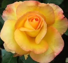 rose u0027solitaire u0027 new zealand roses shop online