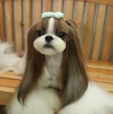 list of shih haircut shih tzu haircut google search gg pinterest dog shih tzus