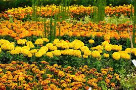 free photo flower bed yellow orange bloom free image on