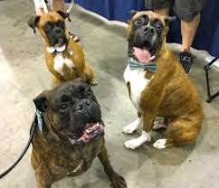 boxer dog disposition these dogs are the most affectionate breeds in the world