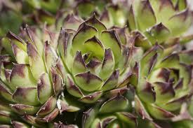 ornamental succulents free image