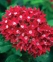 flower plants pentas starcluster red large garden pinterest flowers