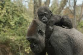 two new baby gorillas on view at the bronx zoo and here