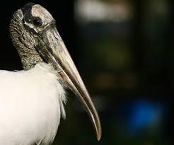 florida wood wood storks endangered or not florida eco travel guide