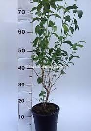mirtillo in vaso piante di mirtillo gigante americano duke precoce vaso 17cm ebay