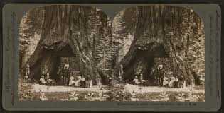 Chandelier Tree Address Giant Sequoia U0027tunnel Tree U0027 In California Is Toppled By Storm