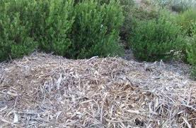 a short lesson in planting mulching and watering california