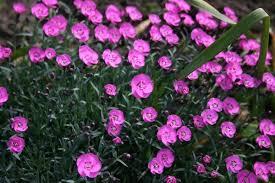 dianthus flower purple dianthus flowers free stock photos in jpeg jpg 1280x855