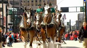 thanksgiving parade in houston budweiser clydesdales to hoof through houston this thanksgiving
