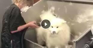 toilettage de l affenpinscher une pluie de poils de chien tombe sur ce salon de toilettage