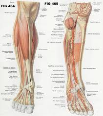 Shoulder And Arm Muscles Anatomy Muscular Anatomy