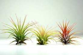 set of 3 air plants tillandsia ionantha air plants for