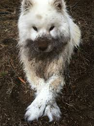 australian shepherd 1 jaar 10 reasons you should never let your dog play in the mud bored