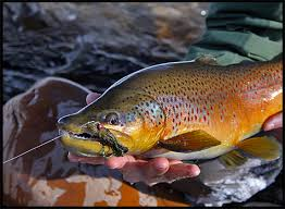 brown streamers streamer brown brown trout streamers fish and trout