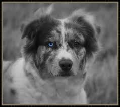 c c australian shepherds louisiana circle c aussies