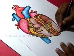 draw human heart anatomy color drawing kids