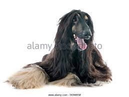 us afghan hound afghan hound black stock photos u0026 afghan hound black stock images