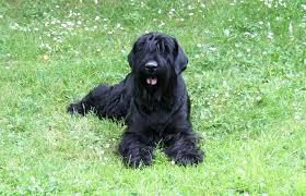 best dog food for a black russian terrier dog food guru
