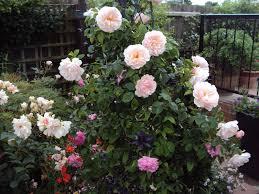 climbing rose advice