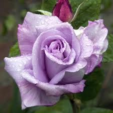 buy rose blue moon j parker dutch bulbs