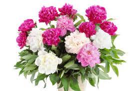 peonies flowers peony peony flower peony flowers