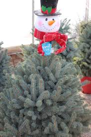 living christmas tree care tlc garden centers