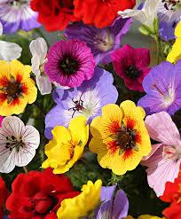 plante vivace soleil achetez maintenant une plante vivace mélange potentille et