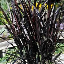 pennisetum glaucum purple baron ornamental millet