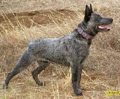 australian shepherd cattle dog 373 best australian cattle dogs images on pinterest australian
