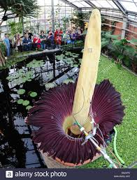a titan arum or u0027corpse flower u0027 blossoms at the botanic gardens in
