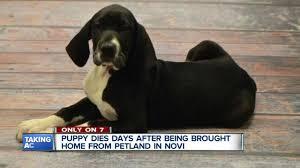 when a pet dies family blames petland novi after pet dies days after purchase