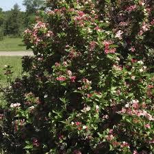 Flowering Privacy Shrubs - red flowering shrubs for sale nature hills nursery