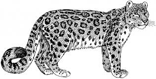 how to draw a leopard pencil art drawing