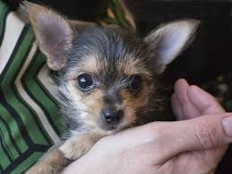 short haired chorkie 13 pictures of chihuahua yorkie mix a k a chorkie and breed