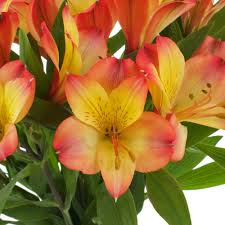 peruvian lilies orange and yellow peruvian lilies