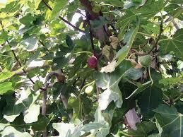 fig plant and fruit britannica com