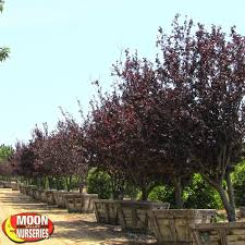 purple leaf plum flowering trees moon valley nursery