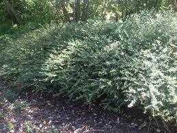 native nc plants ilex vomitoria u0027nana u0027 sometimes called shillings native small