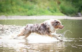 australian shepherd new hampshire asca australian shepherd club of america information