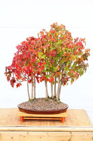 era nurseries buy trees online wholesale australian native 20 best acer ginnala images on pinterest bonsai gardens and