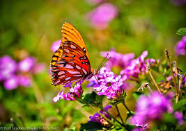 butterfly flowers flowers butterflies