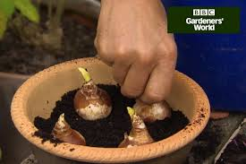 how to plant daffodils in borders gardenersworld com