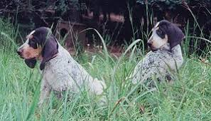 bluetick coonhound kennels in ga bluetick coonhound puppies at bluetick 1 kennels blueticks