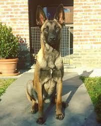 belgian shepherd malinois temperament 76 best belgian malinois images on pinterest belgian shepherd