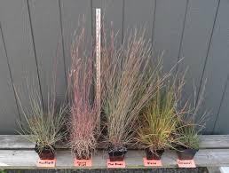 ornamental grass trials perrysperennials