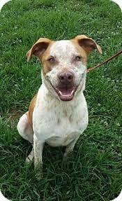 australian shepherd quesnel australian cattle dog pitbull mix size puppies pinterest