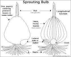 bulb anatomy printout enchantedlearning com