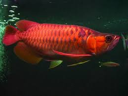 amazing best ornamental fish species in the world ψαρια